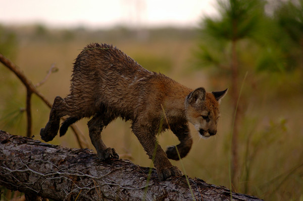 A lonely Florida panther stalks through the Florida Everglades swamp.